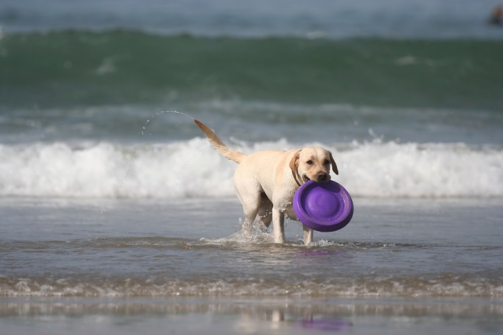 dog with disc in the sea