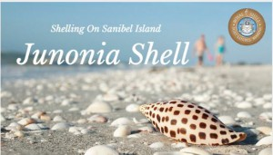 Shelling Sanibel-Junonia