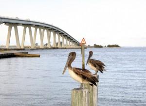 kindness-pelicans