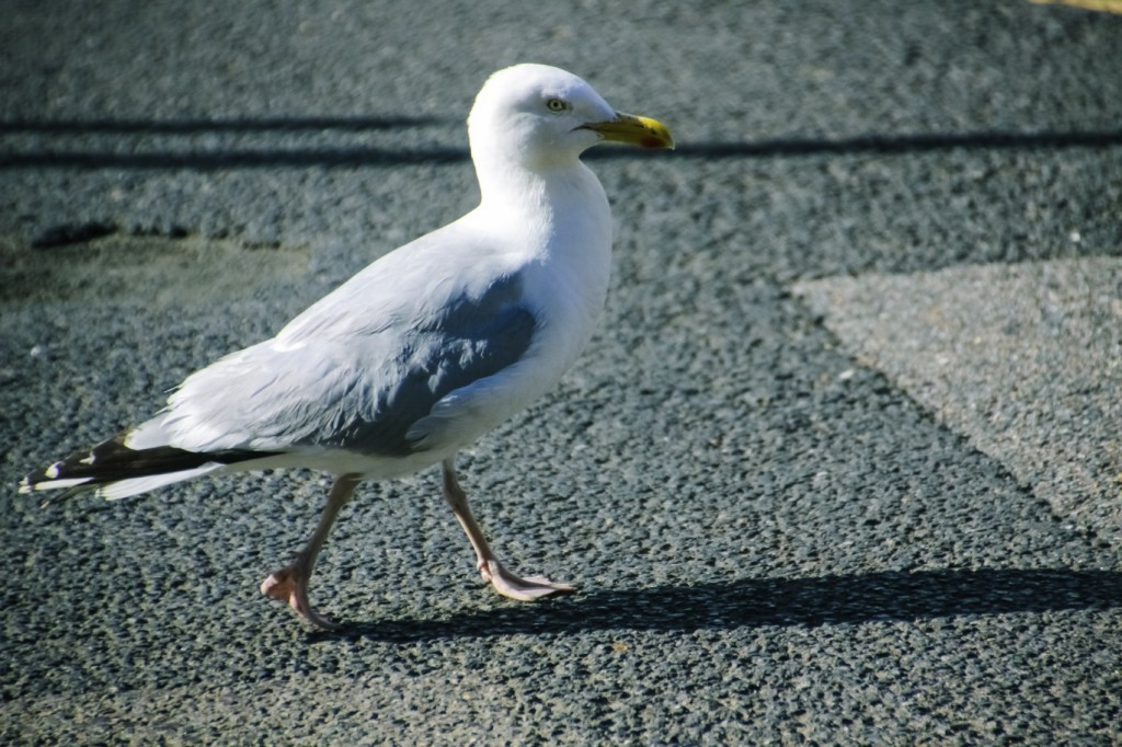 seagull on the road while bird watching