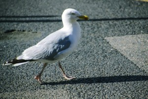 seagull on the road