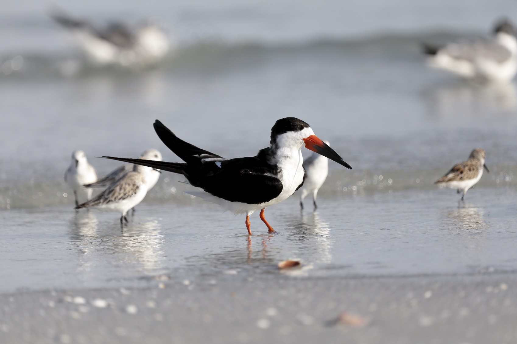 Black skimmer bird on the beach