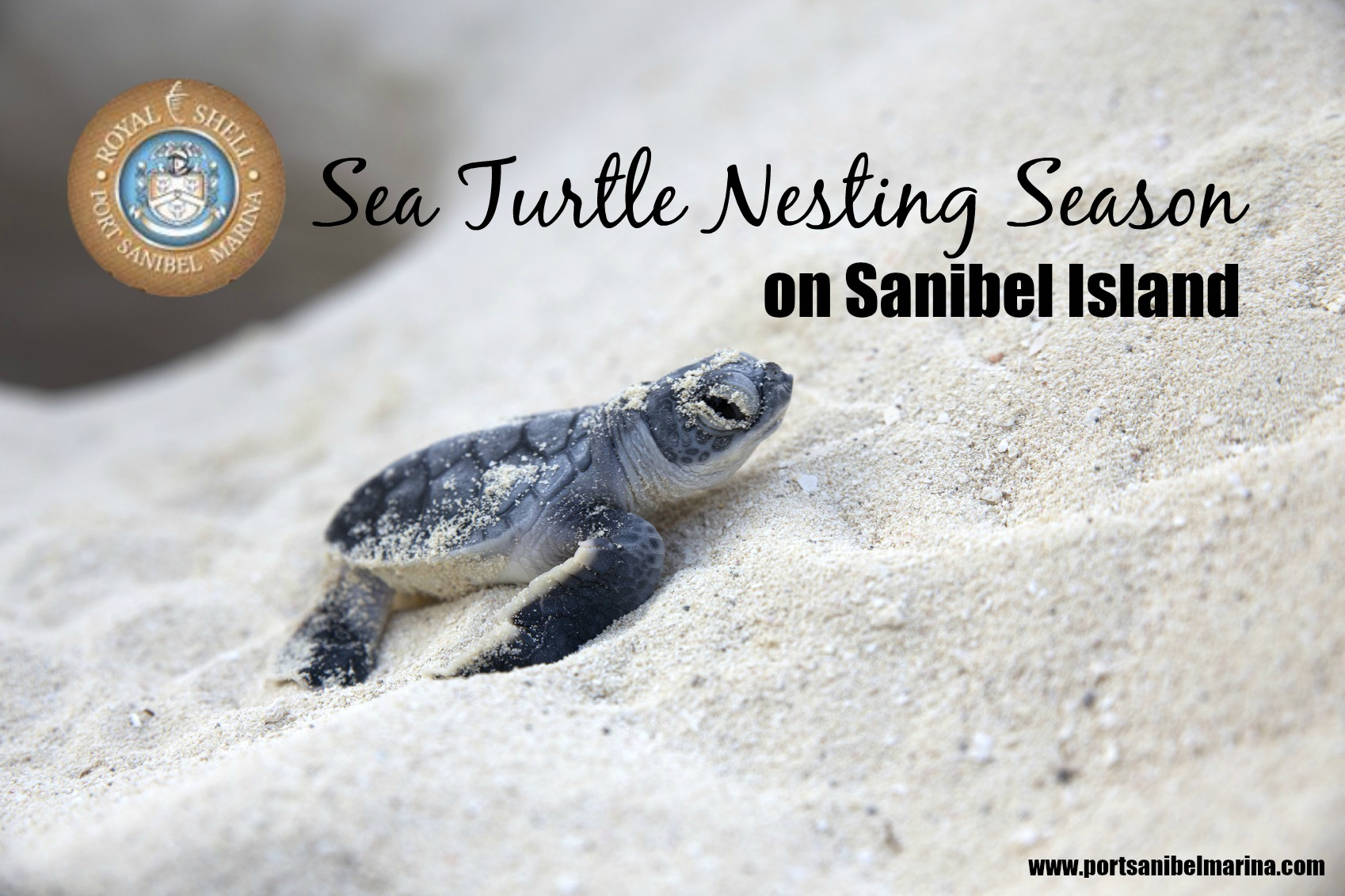 Each sea turtle nest contains more than 100 eggs and just one in 1,000 hatchlings make it to adulthood.