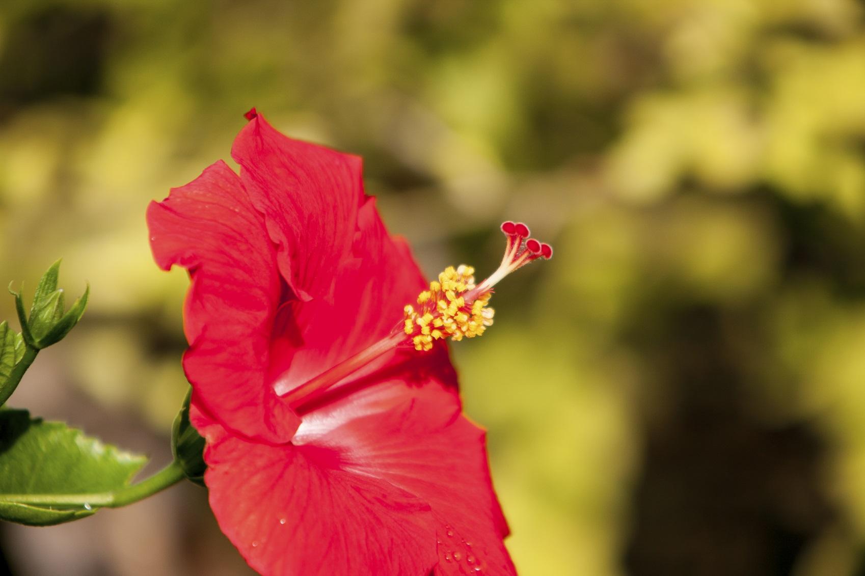 red hibiscus at Sanibel Island