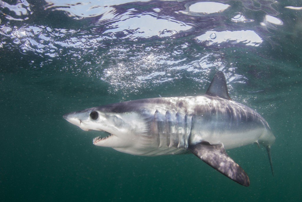 A juvenile shortfin mako shark knifes through the greenish waters off of Rhode Island