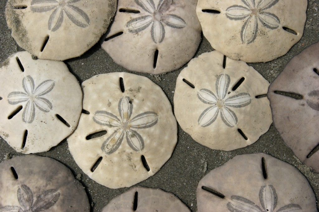 how to find the sand dollar