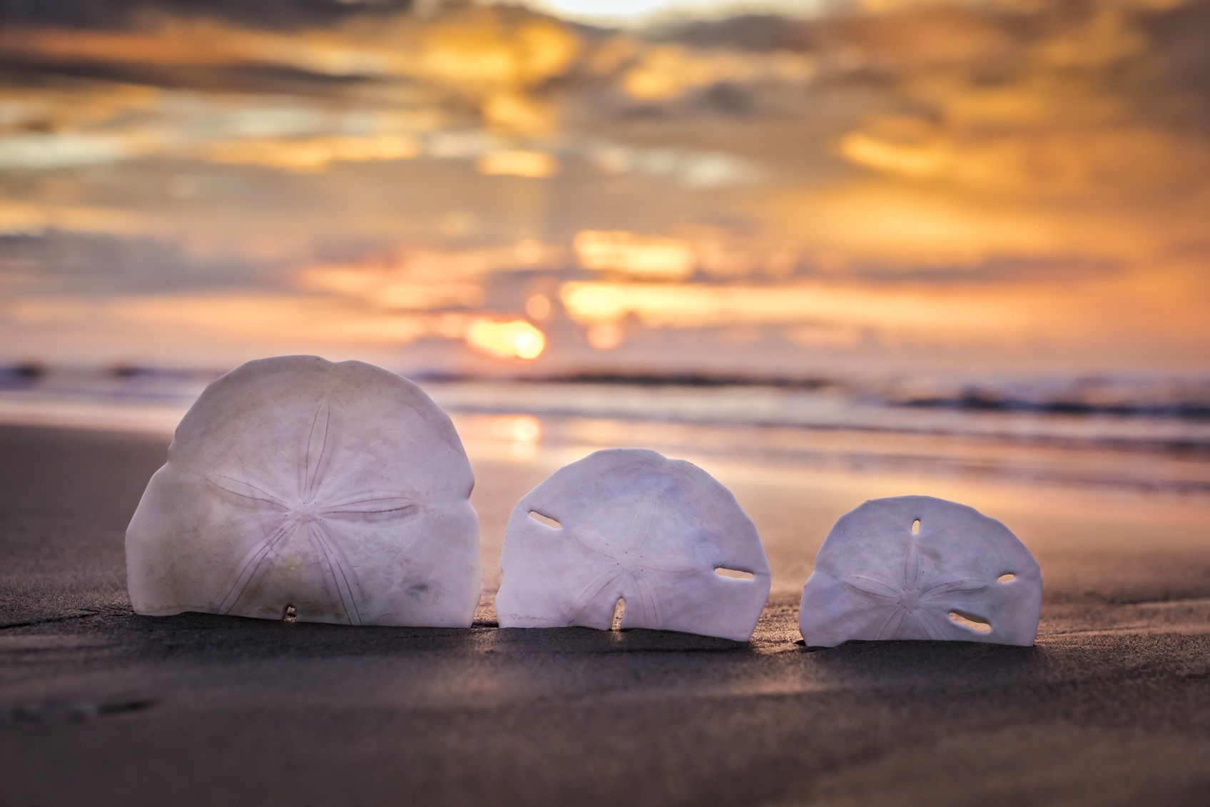 sand dollar display on the beach