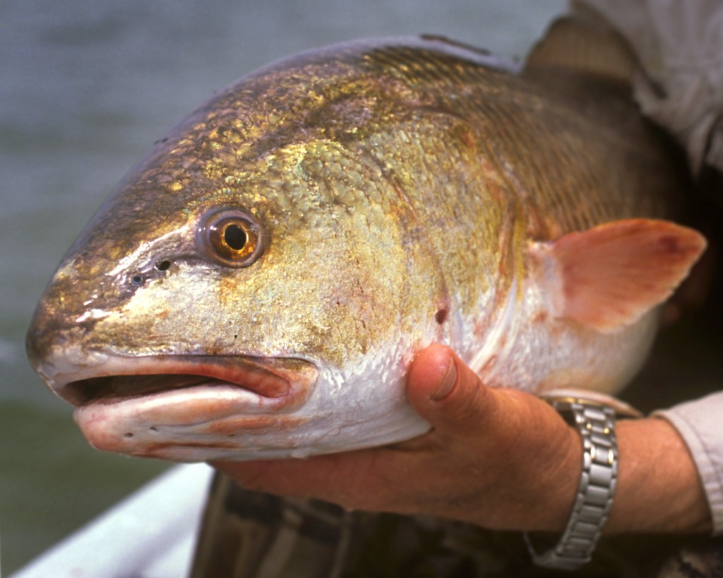 9 redfish fishing tips along florida s coast for How to fish for redfish