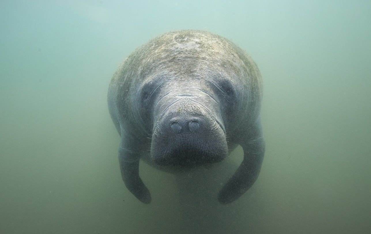 manatee awareness month feature image