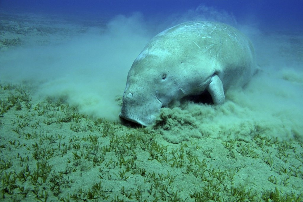 manatee eating sea grass